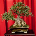 Ficus Shohin