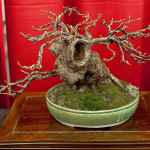 A Sweet Gum Bonsai