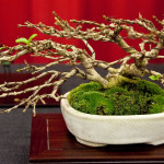 Best Shohin Award Musk Maple