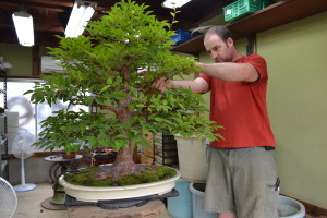 Owen Reich working on Stewartia monadelpha.