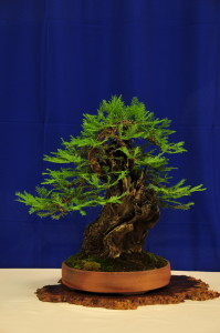Best Yamadori owned by Tom Zane styles by Mike Feduccia at the 2013 Joy of Bonsai