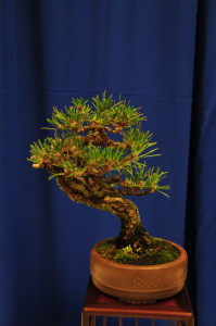 Joe Samuels Award went to a Black Pine shohin owned by Louise Leister