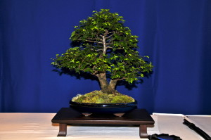 Joe Stumpf Chinese Elm winning Best Tree & Pot Combination