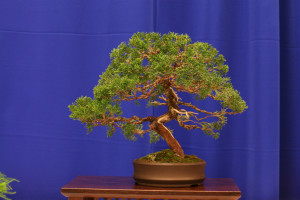 Peggy Cook's juniper styled at the Joy of Bonsai This was Peggy's first Convention exhibit and it was beautiful!