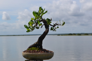 Buttonwood Bonsai 8-2015 001