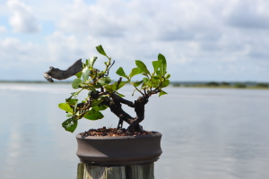 Buttonwood Bonsai 8-2015 005